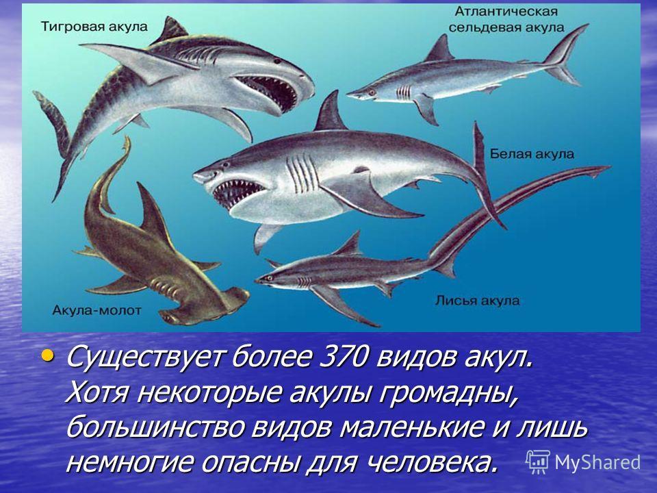 Существует более 370 видов акул. Хотя некоторые акулы громадны, большинство видов маленькие и лишь немногие опасны для человека. Существует более 370 видов акул. Хотя некоторые акулы громадны, большинство видов маленькие и лишь немногие опасны для че