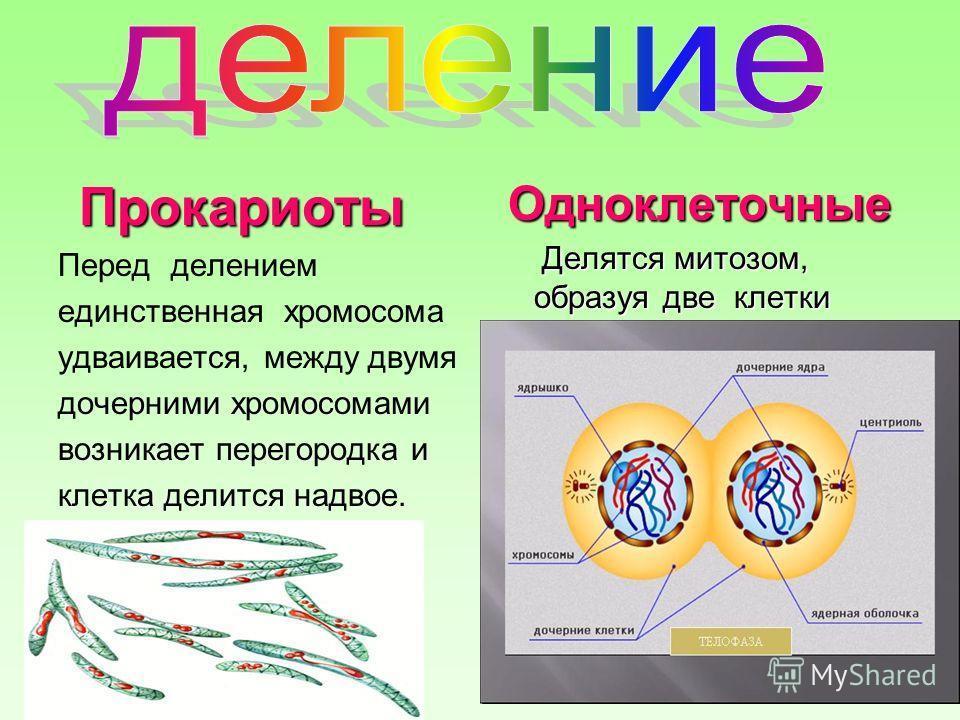 Прокариоты Перед делением единственная хромосома удваивается, между двумя дочерними хромосомами возникает перегородка и клетка делится надвое. Одноклеточные Делятся митозом, образуя две клетки Делятся митозом, образуя две клетки