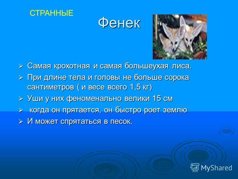 Фенек Самая крохотная и самая большеухая лиса. Самая крохотная и самая большеухая лиса. При длине тела и головы не больше сорока сантиметров ( и весе всего 1,5 кг) При длине тела и головы не больше сорока сантиметров ( и весе всего 1,5 кг) Уши у них