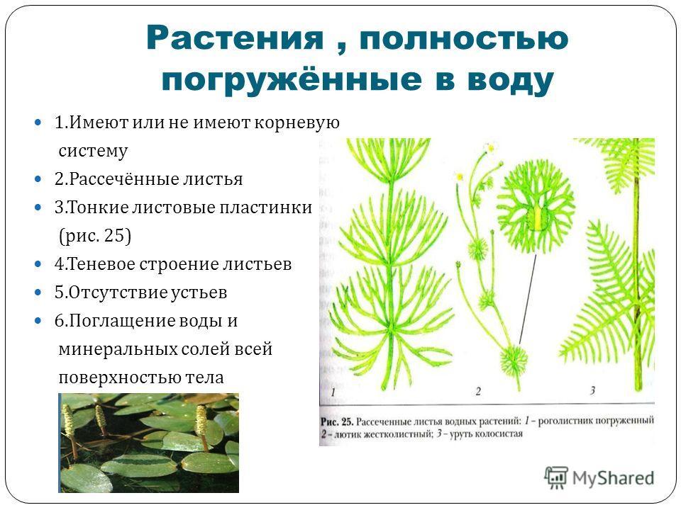Растения, полностью погружённые в воду 1. Имеют или не имеют корневую систему 2. Рассечённые листья 3. Тонкие листовые пластинки ( рис. 25) 4. Теневое строение листьев 5. Отсутствие устьев 6. Поглащение воды и минеральных солей всей поверхностью тела