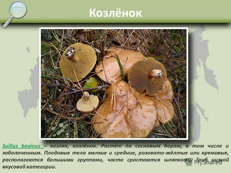 Масленок Suillus luteus Suillus luteus – масленок жёлтый, самый распространённый вид из этого рода. Шляпка от бурой до жёлтой, клейкая. Споровый слой молодых плодовых тел закрыт белой плёнкой, которая в дальнейшем разрывается и на ножке остаётся клей
