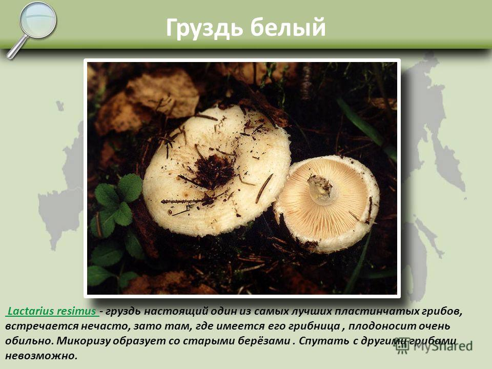 Пластинчатые грибы Сюда относятся высшие Базидиальные грибы, имеющие споровый слой в виде радиально расходящихся от ножки пластинок. Шляпка чаще всего вогнуто-коническая или выпукло-коническая. Споры развиваются между пластинками и разносятся по лесу