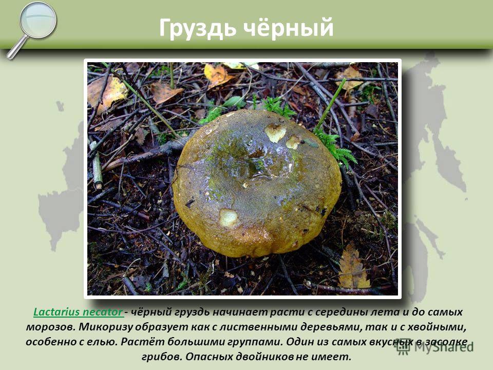 Груздь белый Lactarius resimus Lactarius resimus - груздь настоящий один из самых лучших пластинчатых грибов, встречается нечасто, зато там, где имеется его грибница, плодоносит очень обильно. Микоризу образует со старыми берёзами. Спутать с другими