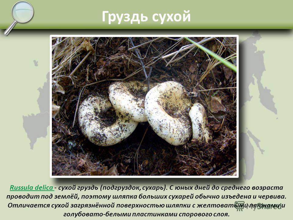 Груздь чёрный Lactarius necator - чёрный груздь начинает расти с середины лета и до самых морозов. Микоризу образует как с лиственными деревьями, так и с хвойными, особенно с елью. Растёт большими группами. Один из самых вкусных в засолке грибов. Опа