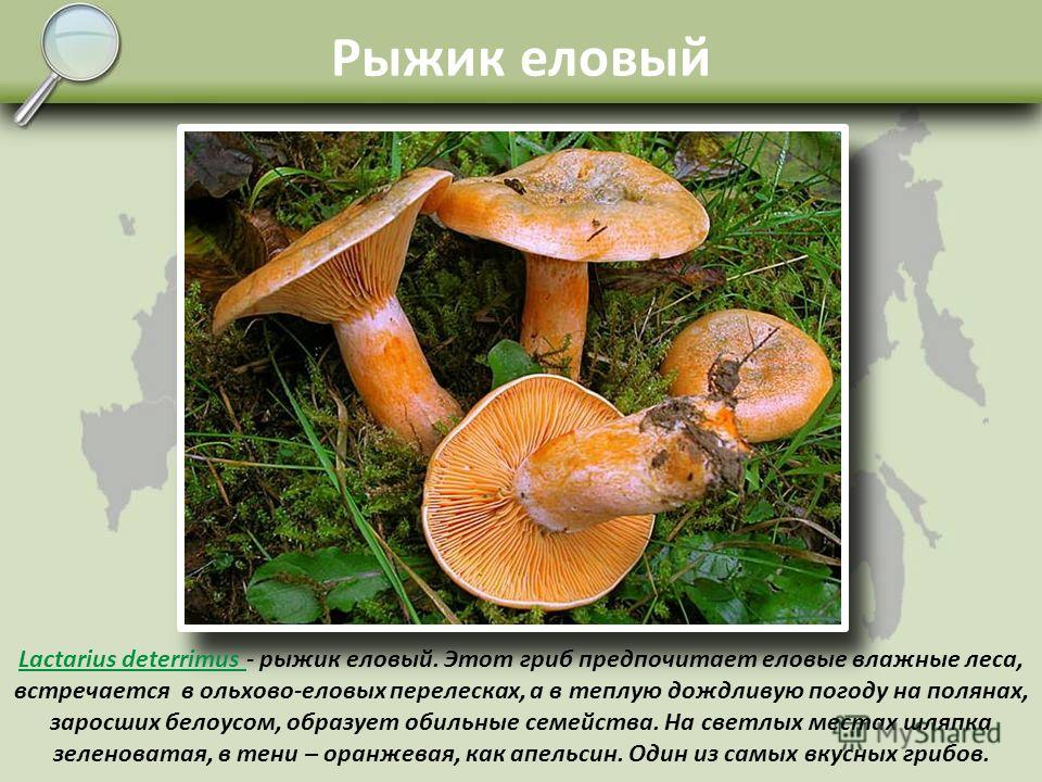 Груздь сухой Russula delica Russula delica - сухой груздь (подгруздок, сухарь). С юных дней до среднего возраста проводит под землёй, поэтому шляпка больших сухарей обычно изъедена и червива. Отличается сухой загрязнённой поверхностью шляпки с желтов
