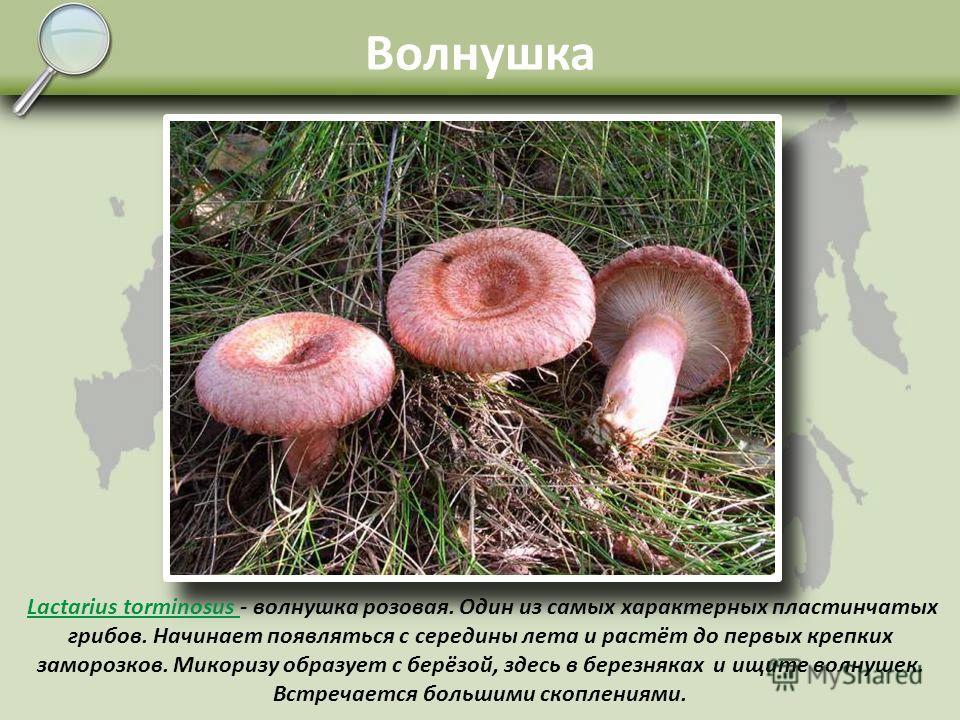 Белянка Lactarius pubescens - волнушка белая, белянка. Встречается в берёзовых сыроватых лесах, перелесках и даже на луговинах с редкими одиночными берёзками и ивовой порослью. Микоризу образует по-видимому, как с берёзой, так и с ивой. Спутать можно