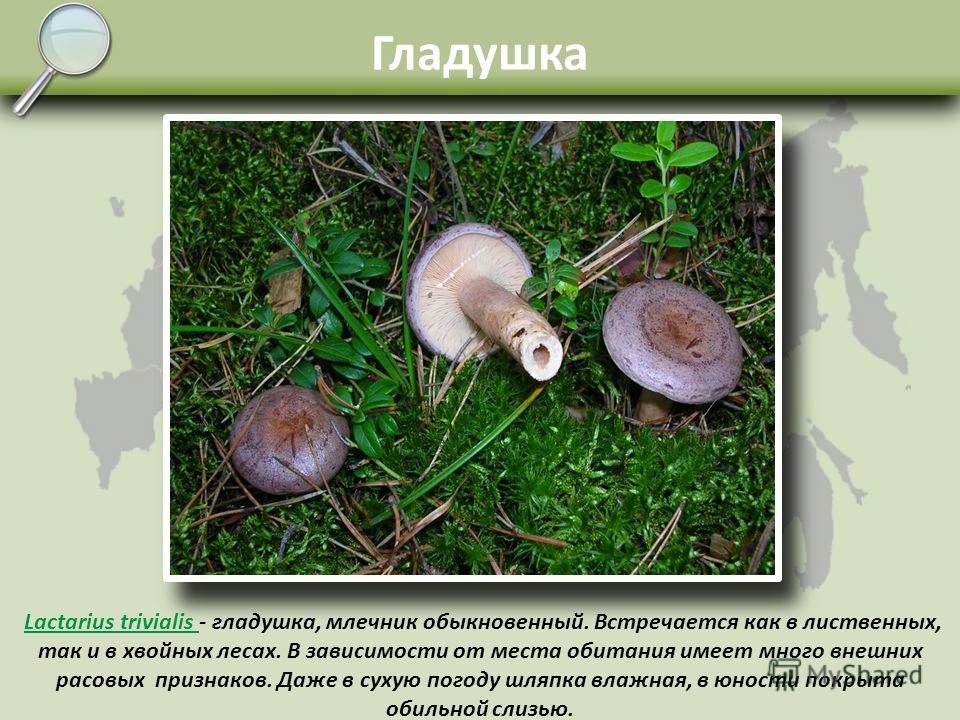 Волнушка Lactarius torminosus - волнушка розовая. Один из самых характерных пластинчатых грибов. Начинает появляться с середины лета и растёт до первых крепких заморозков. Микоризу образует с берёзой, здесь в березняках и ищите волнушек. Встречается