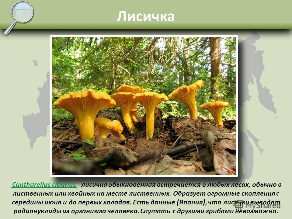 Валуй Russula foetens – валуй. Растёт преимущественно по берёзовым и осиновым лесам, но попадается и в смешанных, и в хвойных. Молодые валуи с округлыми шляпками, в сухую погоду напоминают видом белые грибы, растут в тех же местах. Во влажную погоду