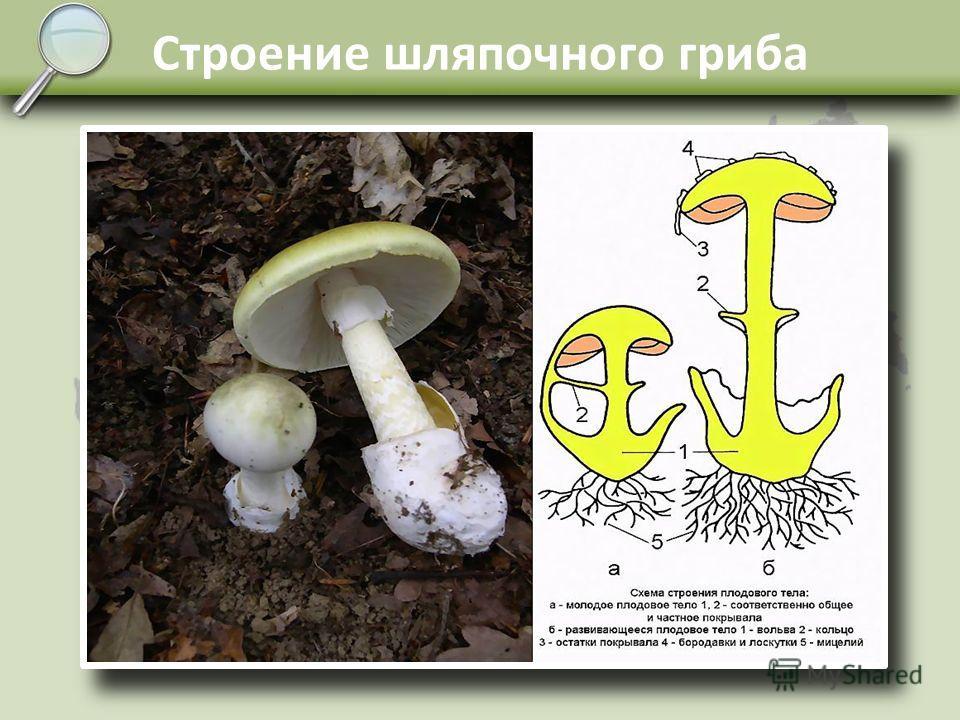 Царство Грибы Грибы – это особое царство живых организмов, которые имеют черты сходства как с растениями, так и с животными. Способ питания гетеротрофный. Собственно тело гриба, живущее на субстрате или внутри него, называется мицелием. У высших гриб