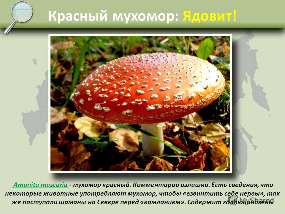 Несъедобные и ядовитые Ядовитых и несъедобных пластинчатых грибов не так уж много и их легко отличить. Собирая сыроежки в засол, нужно быть очень внимательным, так как легко спутать зелёную сыроежку и молодую бледную поганку – она вырастает из клубне
