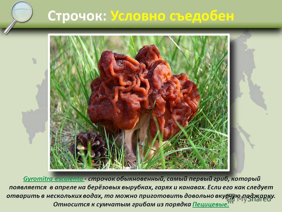 Свинушка: Условно съедобен Paxillus involutus Paxillus involutus - свинушка тонкая, настоящий сорняк: растёт даже в садах и огородах. Имеет красновато-бурый сок, выступающий на срезах. Учёные ФРГ ещё в 70-х годах прошлого века обнаружили в этих гриба
