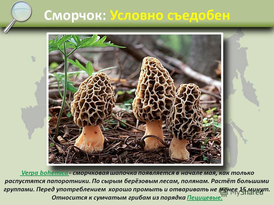 Строчок: Условно съедобен Gyromitra esculenta - строчок обыкновенный, самый первый гриб, который появляется в апреле на берёзовых вырубках, гарях и канавах. Если его как следует отварить в нескольких водах, то можно приготовить довольно вкусную поджа