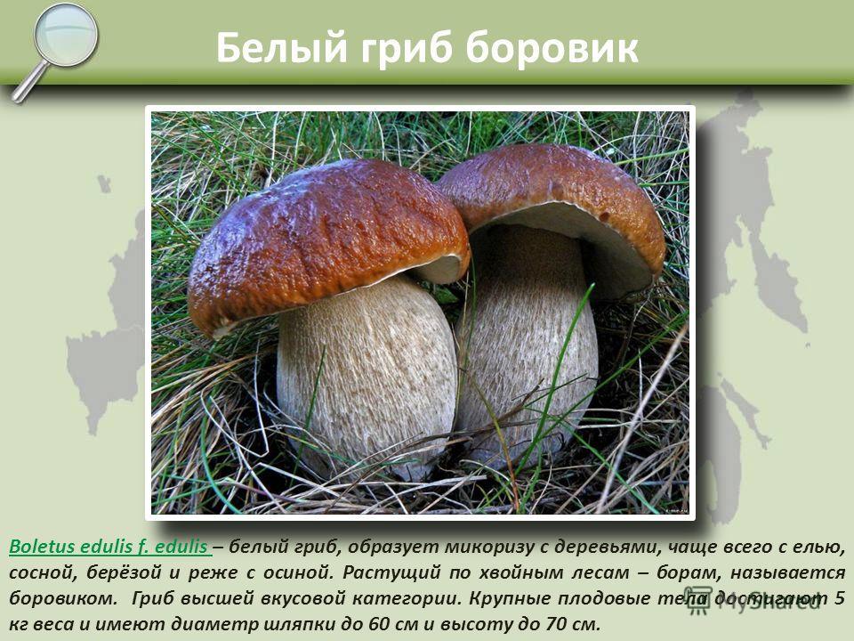 Трубчатые грибы Высшие грибы из группы Базидиомицетов, образуют хорошо развитые плодовые тела. Споровый слой плодовых тел представлен трубочками, внутри которых созревают споры. Споры разносятся воздушными потоками или животными. Для Трутовых грибов