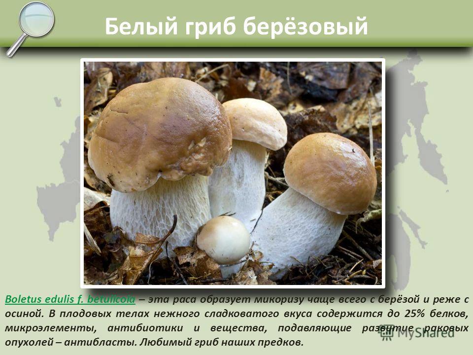 Белый гриб боровик Boletus edulis f. еdulis Boletus edulis f. еdulis – белый гриб, образует микоризу с деревьями, чаще всего с елью, сосной, берёзой и реже с осиной. Растущий по хвойным лесам – борам, называется боровиком. Гриб высшей вкусовой катего