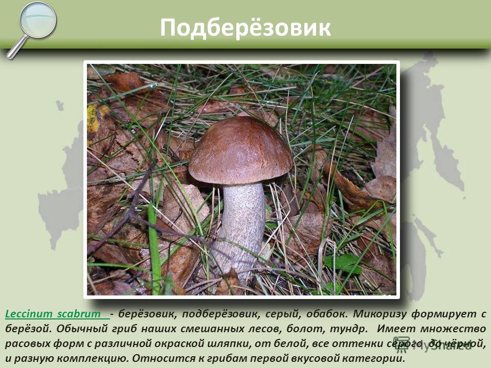 Белый гриб берёзовый Boletus edulis f. betulicolaBoletus edulis f. betulicola – эта раса образует микоризу чаще всего с берёзой и реже с осиной. В плодовых телах нежного сладковатого вкуса содержится до 25% белков, микроэлементы, антибиотики и вещест