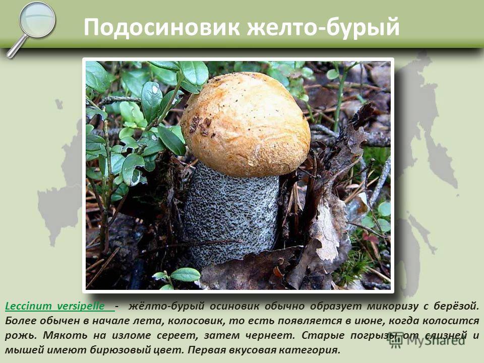 Подберёзовик Leccinum scabrum Leccinum scabrum - берёзовик, подберёзовик, серый, обабок. Микоризу формирует с берёзой. Обычный гриб наших смешанных лесов, болот, тундр. Имеет множество расовых форм с различной окраской шляпки, от белой, все оттенки с