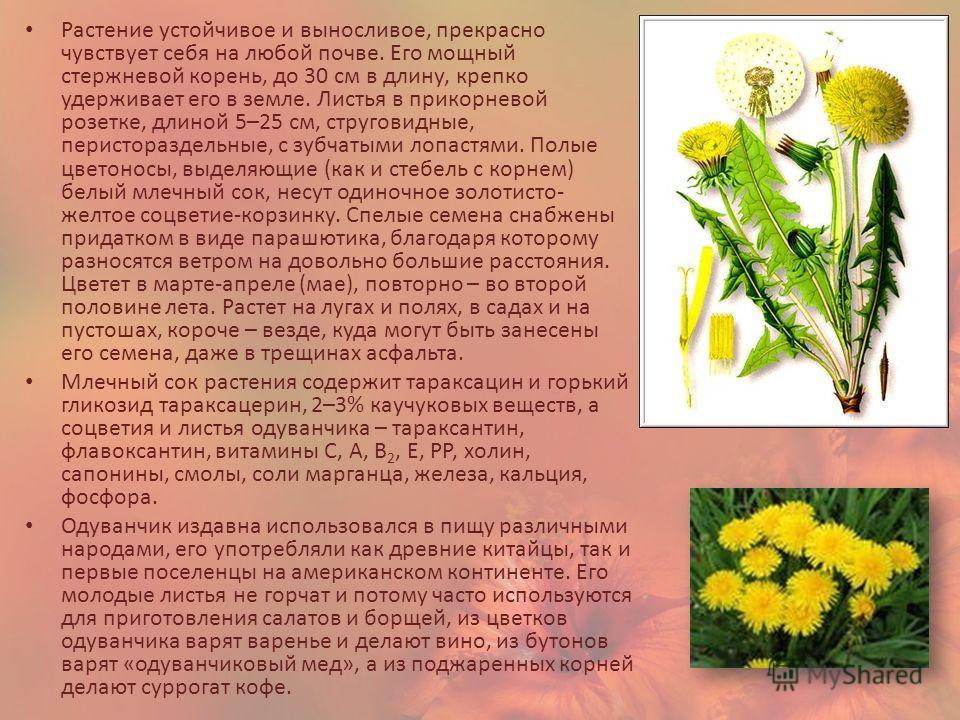 Растение устойчивое и выносливое, прекрасно чувствует себя на любой почве. Его мощный стержневой корень, до 30 см в длину, крепко удерживает его в земле. Листья в прикорневой розетке, длиной 5–25 см, струговидные, перистораздельные, с зубчатыми лопас