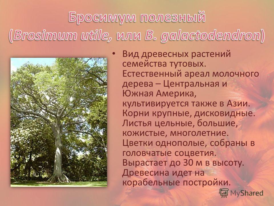 Вид древесных растений семейства тутовых. Естественный ареал молочного дерева – Центральная и Южная Америка, культивируется также в Азии. Корни крупные, дисковидные. Листья цельные, большие, кожистые, многолетние. Цветки однополые, собраны в головчат