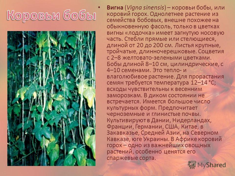 Вигна (Vigna sinensis) – коровьи бобы, или коровий горох. Однолетнее растение из семейства бобовых, внешне похожее на обыкновенную фасоль, только в цветках вигны «лодочка» имеет загнутую носовую часть. Стебли прямые или стелющиеся, длиной от 20 до 20