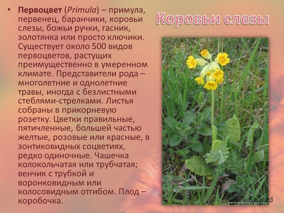 Первоцвет (Primula) – примула, первенец, баранчики, коровьи слезы, божьи ручки, гасник, золотянка или просто ключики. Существует около 500 видов первоцветов, растущих преимущественно в умеренном климате. Представители рода – многолетние и однолетние