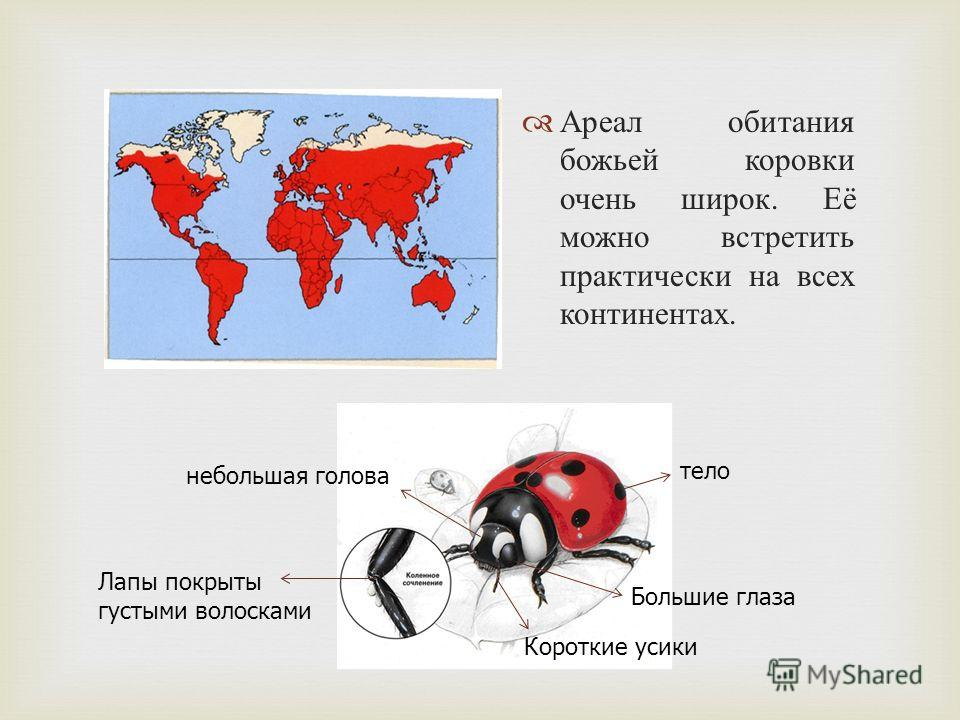 Ареал обитания божьей коровки очень широк. Её можно встретить практически на всех континентах. тело небольшая голова Короткие усики Лапы покрыты густыми волосками Большие глаза