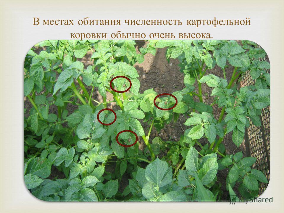 В местах обитания численность картофельной коровки обычно очень высока.
