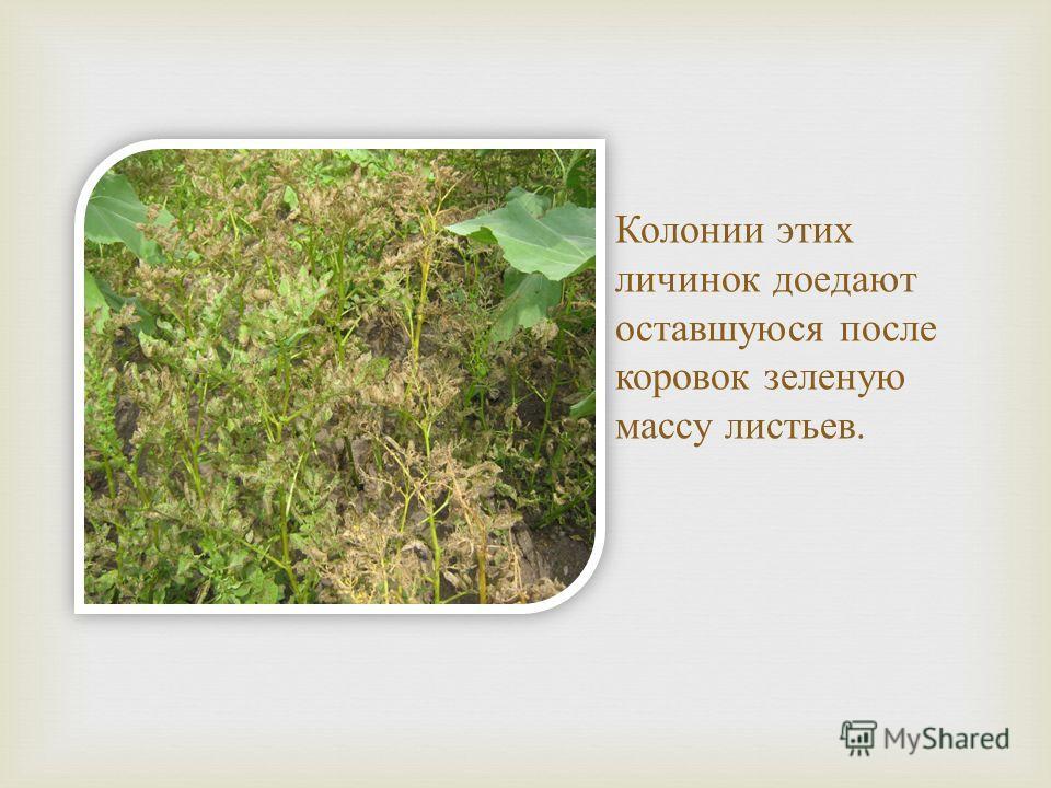 Колонии этих личинок доедают оставшуюся после коровок зеленую массу листьев.