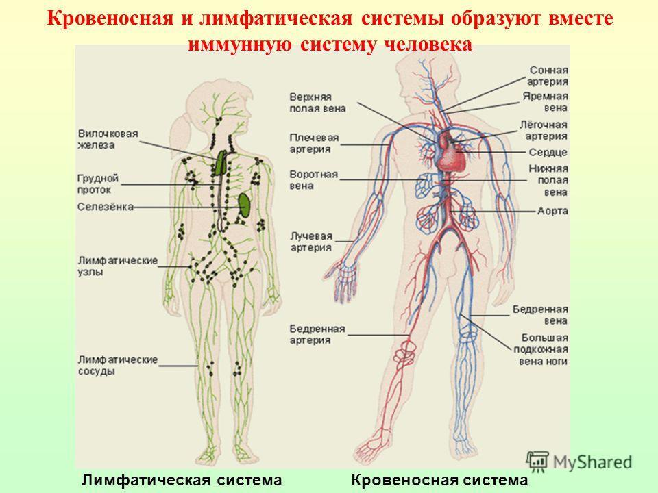 Функции лимфатической системы Обеспечивает проведение лимфы по организму Поддержание нормального обмена в тканях Осуществляет транспортировку питательных веществ Возвращает белки из тканевой жидкости в кровь Участвует в иммунных механизмах защиты орг