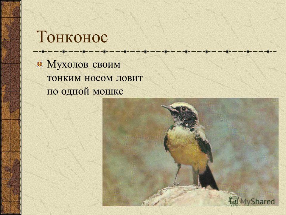Тонконос Мухолов своим тонким носом ловит по одной мошке