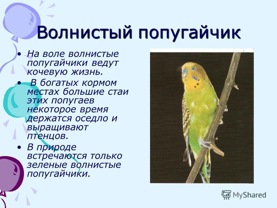 Волнистый попугайчик На воле волнистые попугайчики ведут кочевую жизнь. В богатых кормом местах большие стаи этих попугаев некоторое время держатся оседло и выращивают птенцов. В природе встречаются только зеленые волнистые попугайчики.
