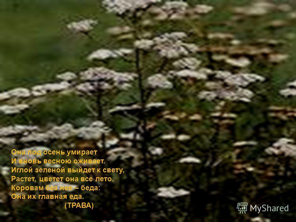 Она под осень умирает И вновь весною оживает. Иглой зеленой выйдет к свету, Растет, цветет она все лето. Коровам без нее – беда: Она их главная еда. (ТРАВА) Она под осень умирает И вновь весною оживает. Иглой зеленой выйдет к свету, Растет, цветет он