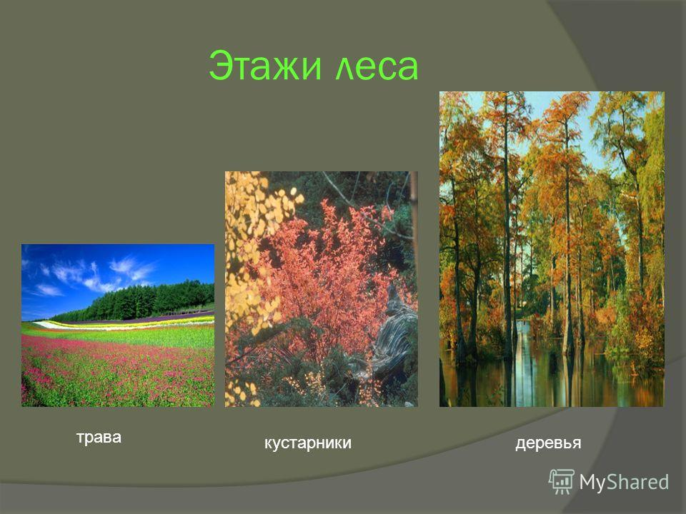 Этажи леса трава кустарникидеревья
