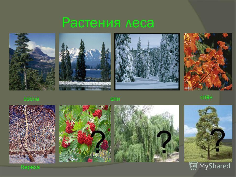 Растения леса соснаели клён берёза ?? ?