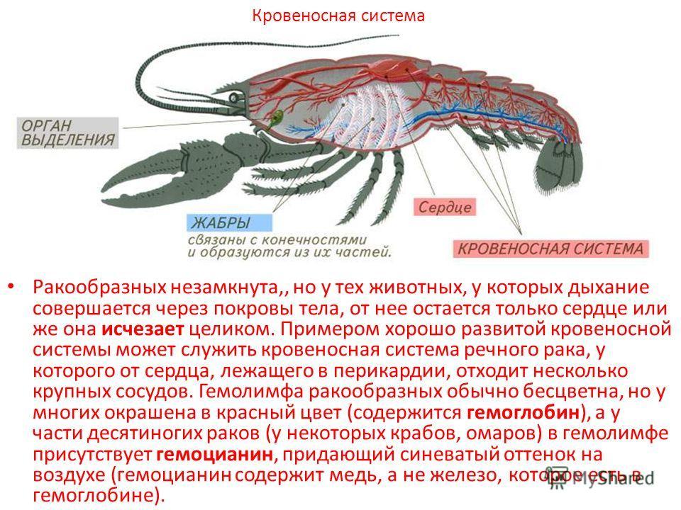 Ракообразных незамкнута,, но у тех животных, у которых дыхание совершается через покровы тела, от нее остается только сердце или же она исчезает целиком. Примером хорошо развитой кровеносной системы может служить кровеносная система речного рака, у к