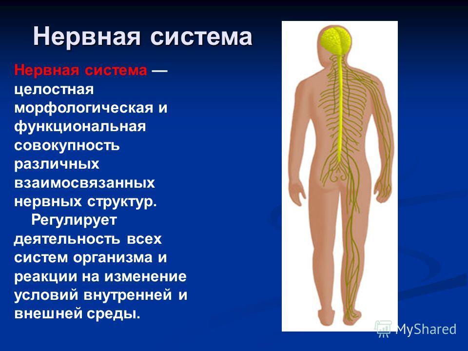 Нервная система Нервная система целостная морфологическая и функциональная совокупность различных взаимосвязанных нервных структур. Регулирует деятельность всех систем организма и реакции на изменение условий внутренней и внешней среды.