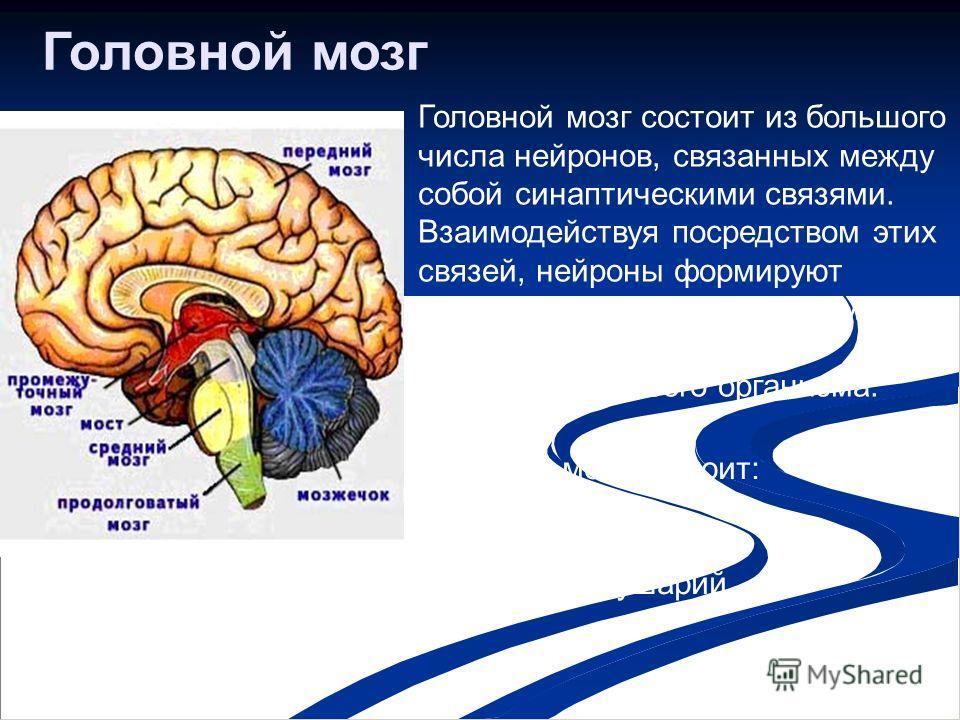 Головной мозг Головной мозг состоит из большого числа нейронов, связанных между собой синаптическими связями. Взаимодействуя посредством этих связей, нейроны формируют сложные электрические импульсы, которые контролируют деятельность всего организма.