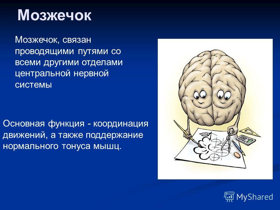 Мозжечок Мозжечок, связан проводящими путями со всеми другими отделами центральной нервной системы Основная функция - координация движений, а также поддержание нормального тонуса мышц.