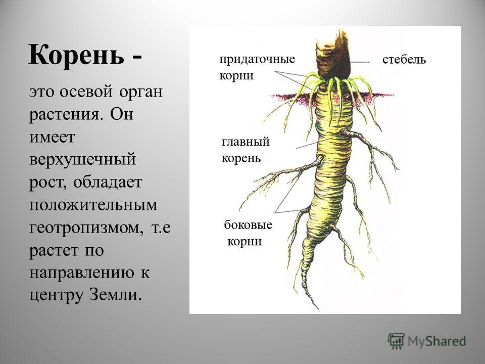 Корень - это осевой орган растения. Он имеет верхушечный рост, обладает положительным геотропизмом, т.е растет по направлению к центру Земли.