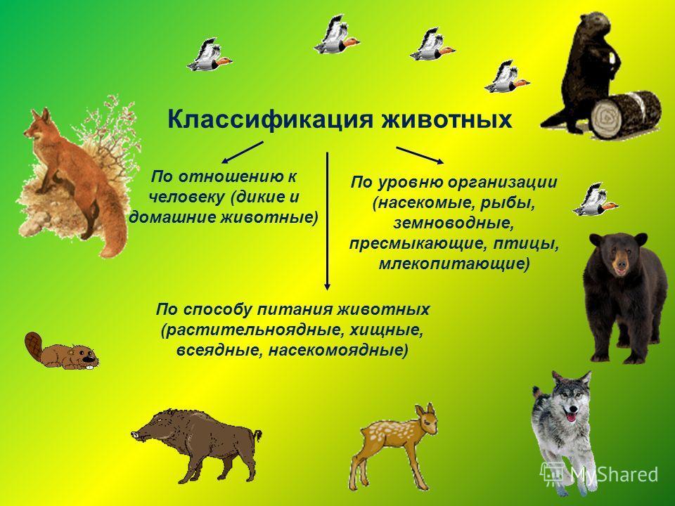 Классификация животных По отношению к человеку (дикие и домашние животные) По способу питания животных (растительноядные, хищные, всеядные, насекомоядные) По уровню организации (насекомые, рыбы, земноводные, пресмыкающие, птицы, млекопитающие)