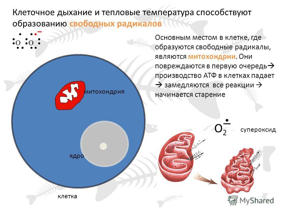 клетка ядро митохондрия Основным местом в клетке, где образуются свободные радикалы, являются митохондрии. Они повреждаются в первую очередь производство АТФ в клетках падает замедляются все реакции начинается старение О2О2 Клеточное дыхание и теплов