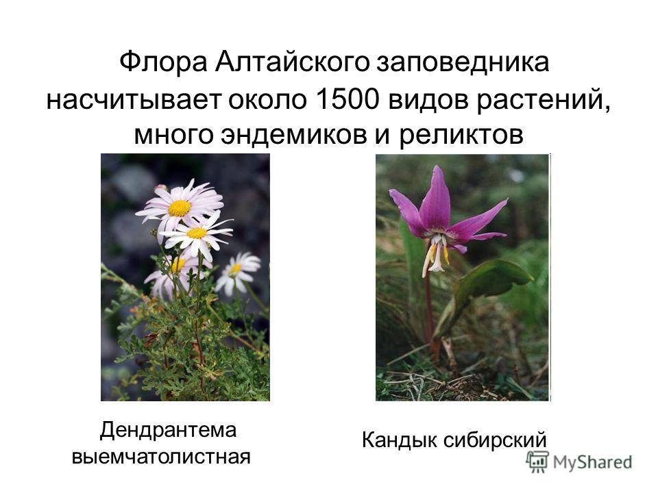 Флора Алтайского заповедника насчитывает около 1500 видов растений, много эндемиков и реликтов Дендрантема выемчатолистная Кандык сибирский