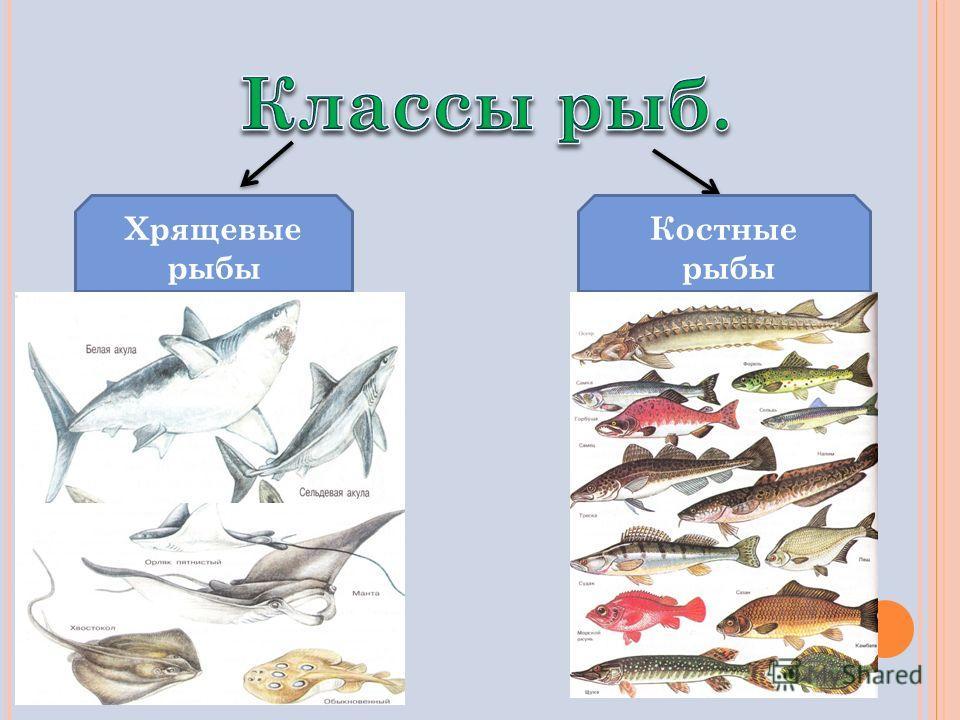 Хрящевые рыбы Костные рыбы