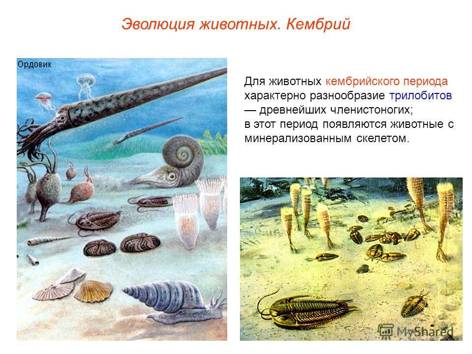 Эволюция животных. Кембрий Для животных кембрийского периода характерно разнообразие трилобитов древнейших членистоногих; в этот период появляются животные с минерализованным скелетом.