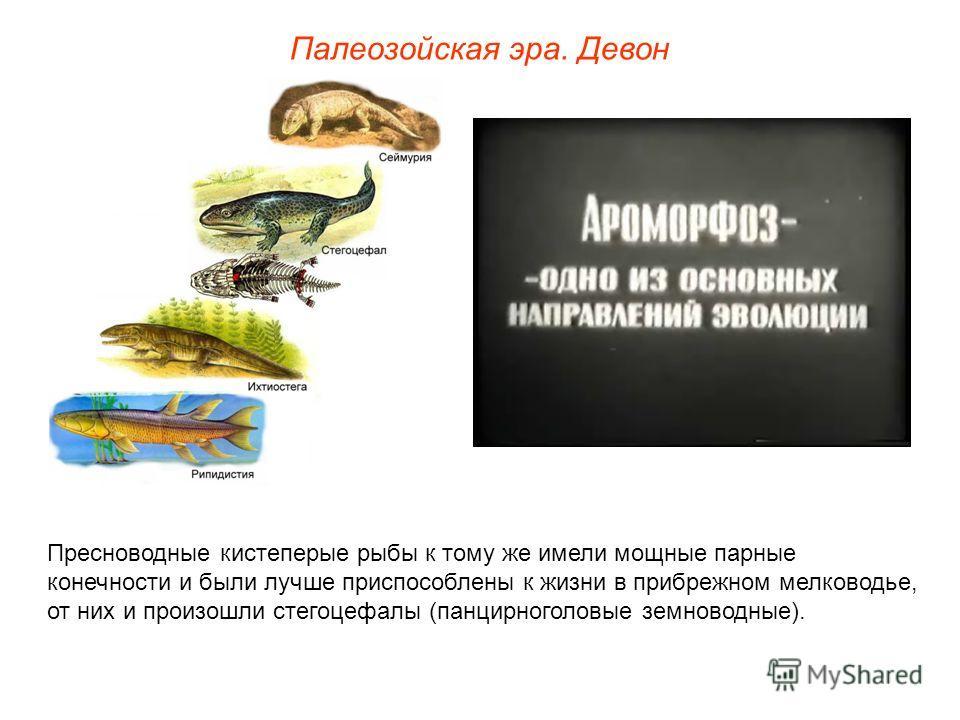 Палеозойская эра. Девон Пресноводные кистеперые рыбы к тому же имели мощные парные конечности и были лучше приспособлены к жизни в прибрежном мелководье, от них и произошли стегоцефалы (панцирноголовые земноводные).