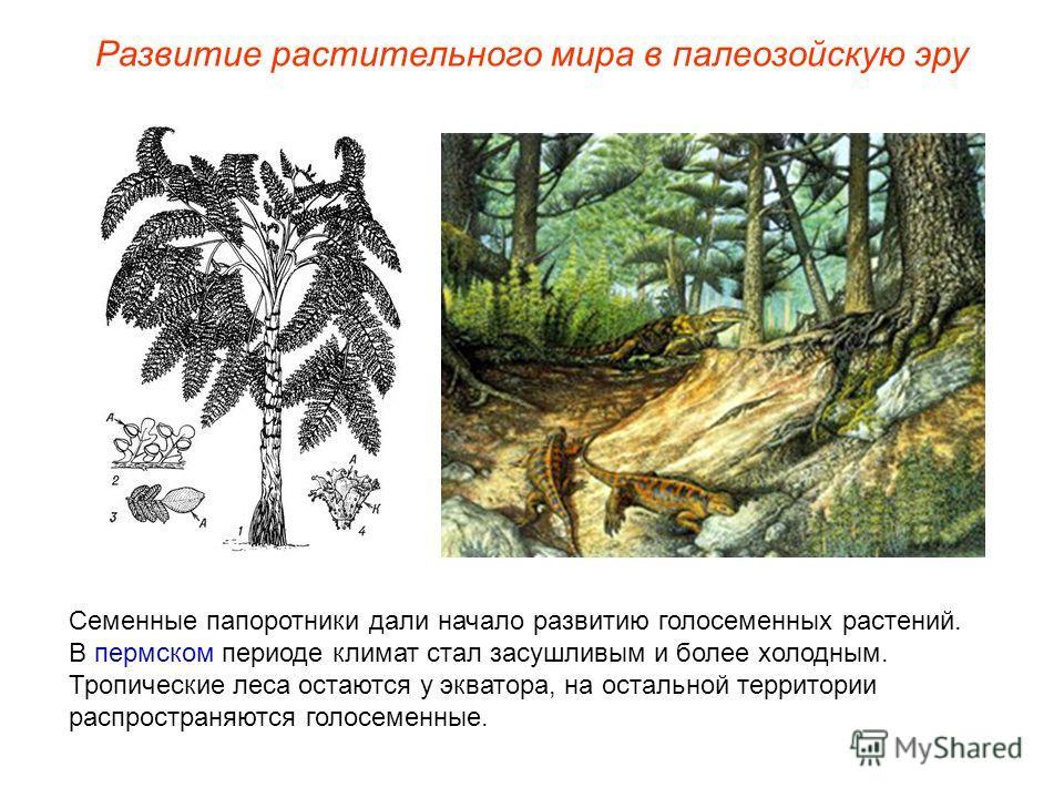 Семенные папоротники дали начало развитию голосеменных растений. В пермском периоде климат стал засушливым и более холодным. Тропические леса остаются у экватора, на остальной территории распространяются голосеменные. Развитие растительного мира в па