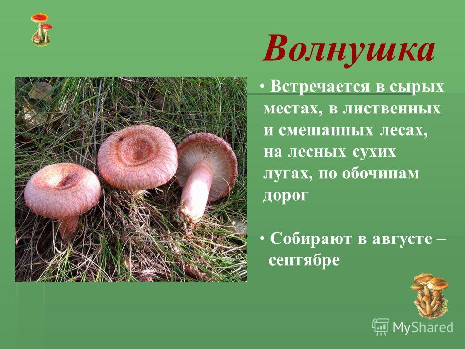 Волнушка Встречается в сырых местах, в лиственных и смешанных лесах, на лесных сухих лугах, по обочинам дорог Собирают в августе – сентябре
