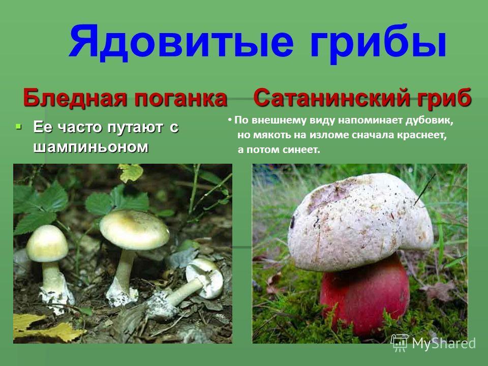Бледная поганка Ее часто путают с шампиньоном Ее часто путают с шампиньоном Сатанинский гриб По внешнему виду напоминает дубовик, но мякоть на изломе сначала краснеет, а потом синеет. Ядовитые грибы
