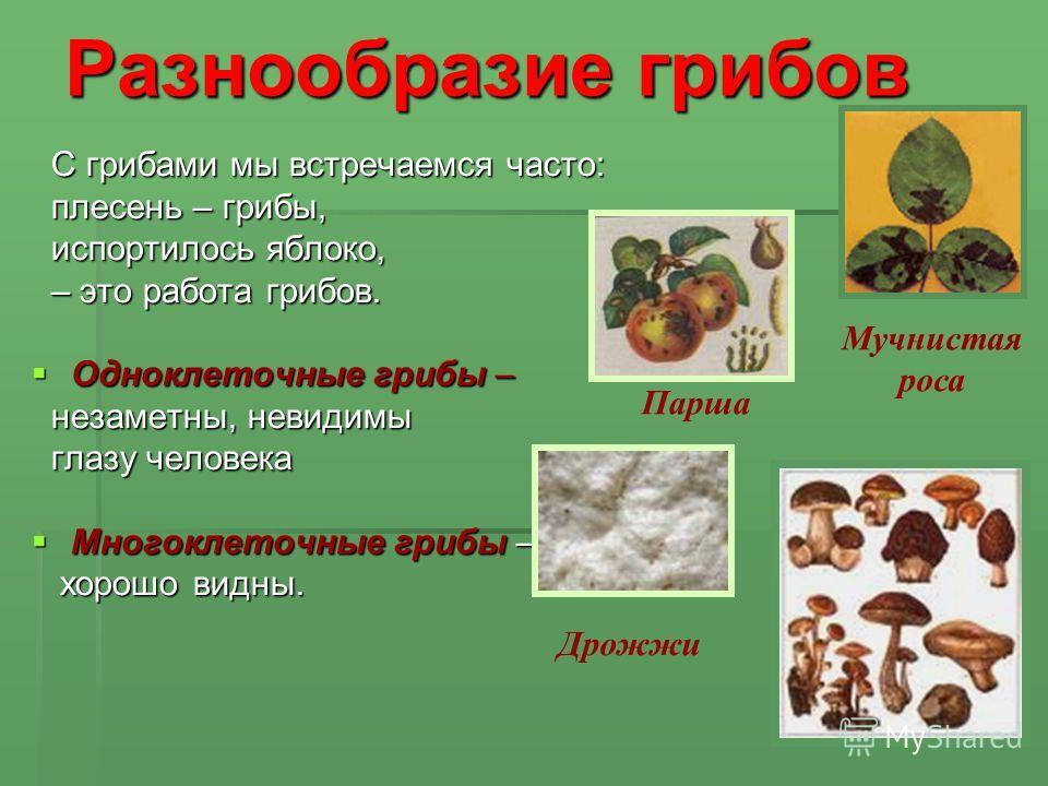 Разнообразие грибов С грибами мы встречаемся часто: С грибами мы встречаемся часто: плесень – грибы, плесень – грибы, испортилось яблоко, испортилось яблоко, – это работа грибов. – это работа грибов. Одноклеточные грибы – Одноклеточные грибы – незаме