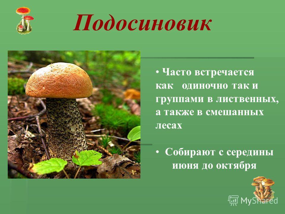 Часто встречается как одиночно так и группами в лиственных, а также в смешанных лесах Собирают с середины июня до октября Подосиновик