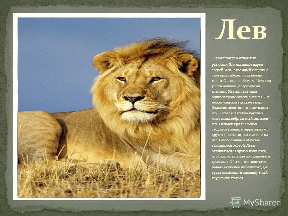 Лев обитает на открытых равнинах. Его называют царём зверей. Лев - огромный хищник, с сильным, гибким, подвижным телом. Он хорошо бегает. Челюсти у льва мощные, с огромными клыками. Хватка льва лишь одними зубами очень сильная. Он может удерживать да